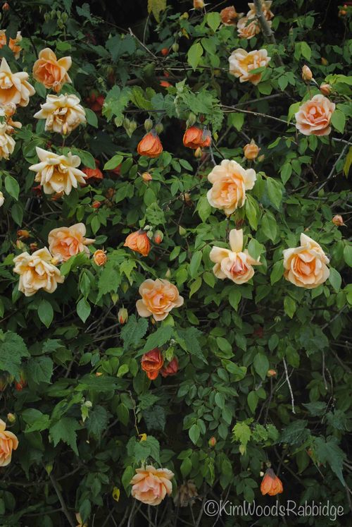 A colourful chorus: 'Crepescule' rose with abutilon.