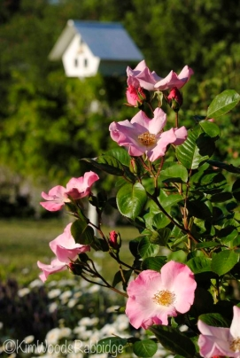 Deep pink buds are punctuation points amongst the single blooms of 'Sparrieshoop'.