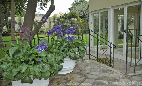 Crisp white pots look fresh against grey green foliage and lilac-coloured limonium.