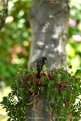Water vessels around the garden draw many birds including families of New Holland honeyeaters.