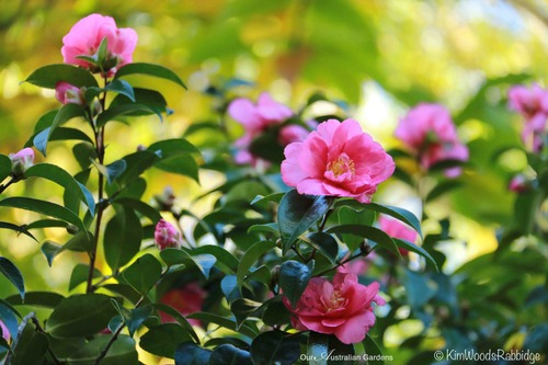 Camellia sasanquas, some up to five metres in height, bring welcome early winter colour.