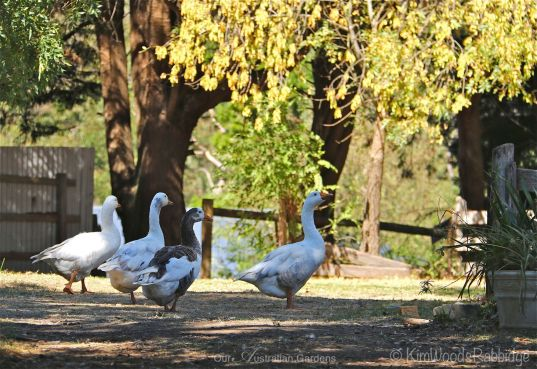 Guard geese casing the grounds.