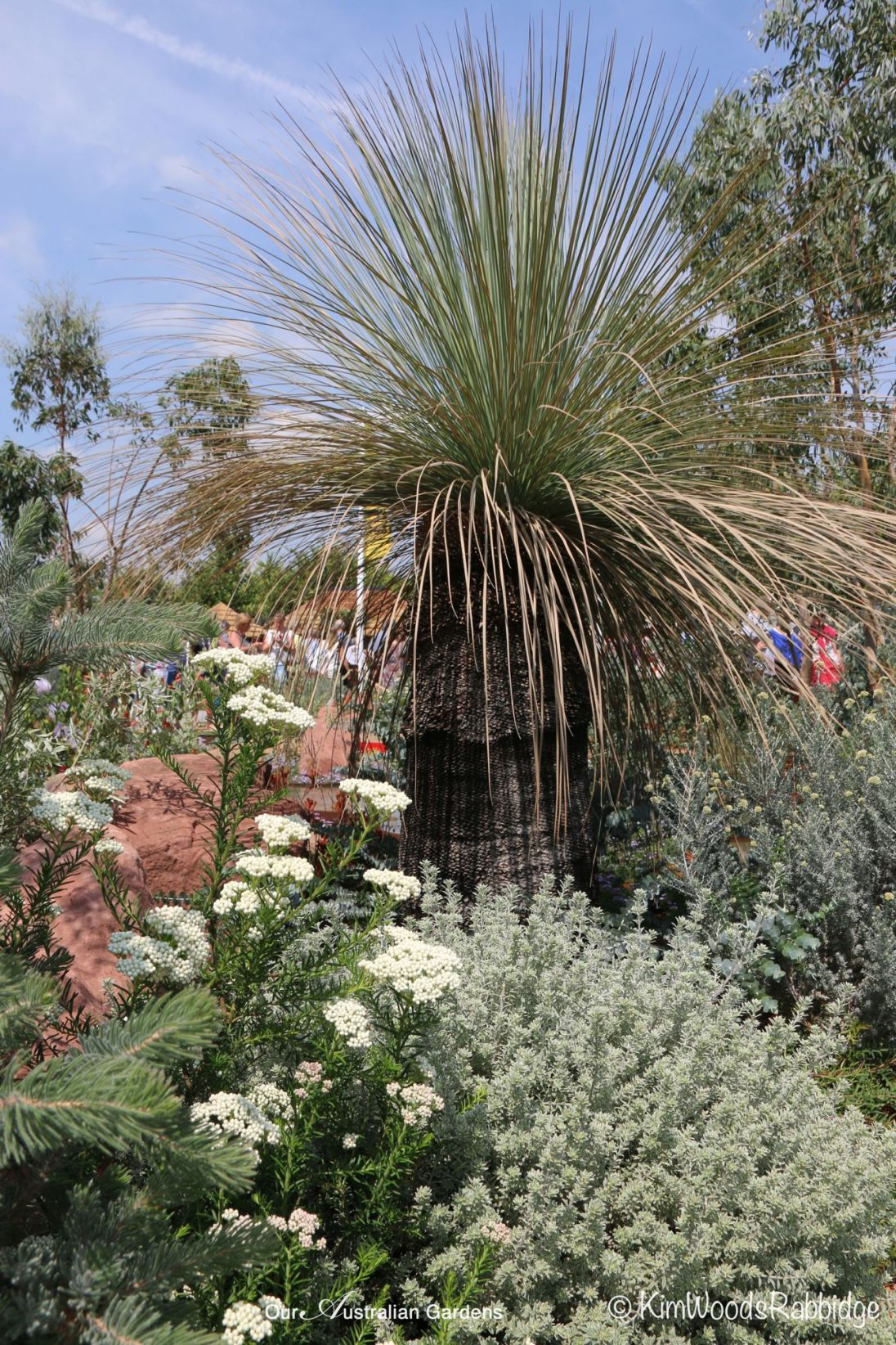 Woolly bush, ozothamnus, eromophla and Johnson's grass tree.