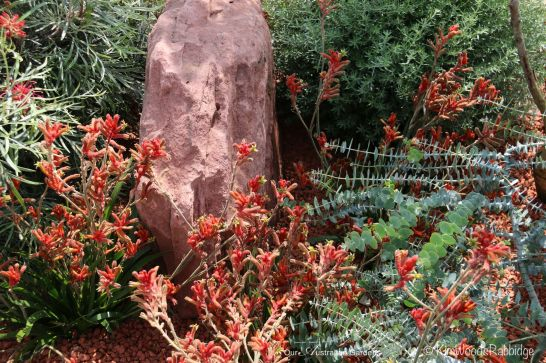 Dwarf kangaroo paws - amongst the favourites.