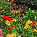 Summer colour -HelenDillon
