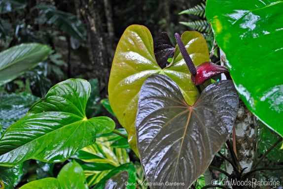 Anthuriums©Kim Woods Rabbidge