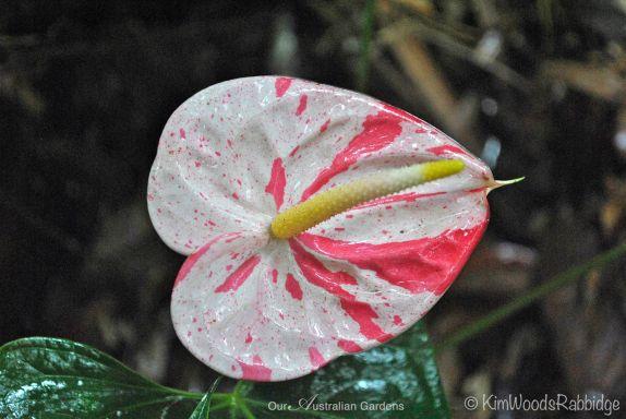 Bi-colour anthurium flower ©Kim Woods Rabbidge
