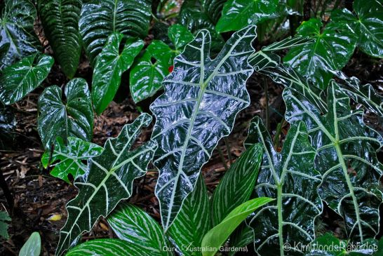 Caladiums glistening in the rain.