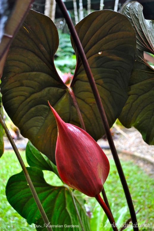 Flowering anthurium ©Kim Woods Rabbidge