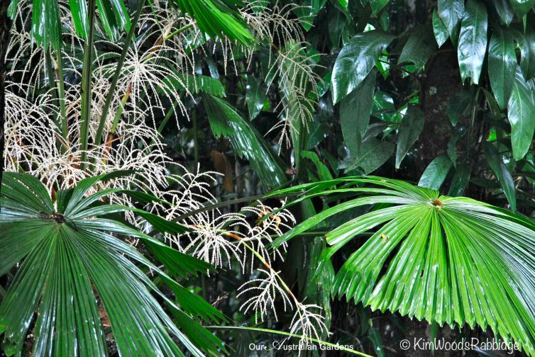 Licuala palm flowers.