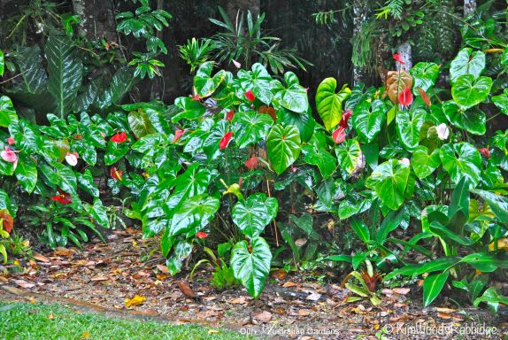 Mass anthuriums ©Kim Woods Rabbidge