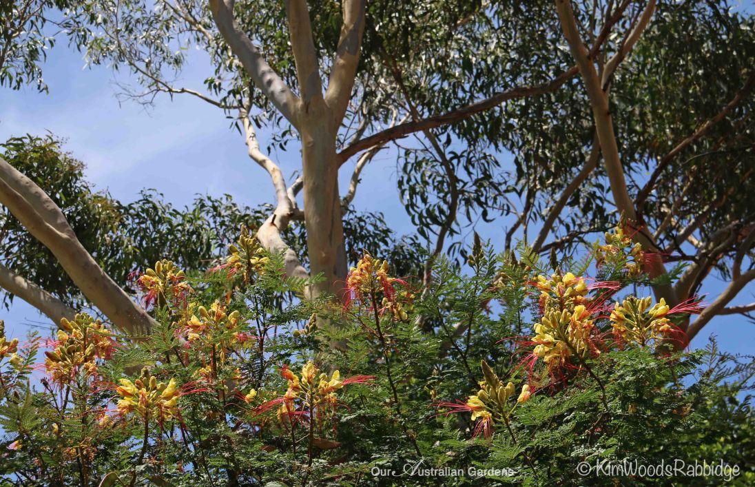 Caesalpinia gilliesii in Nutcote's garden