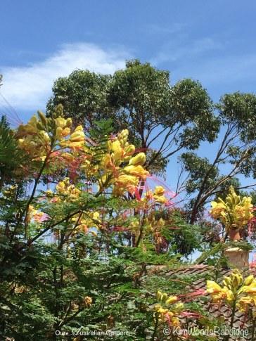 January flowering Caesalpinia.