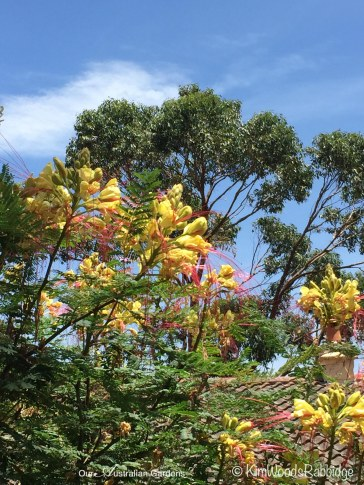 January flowering Caesalpinia.