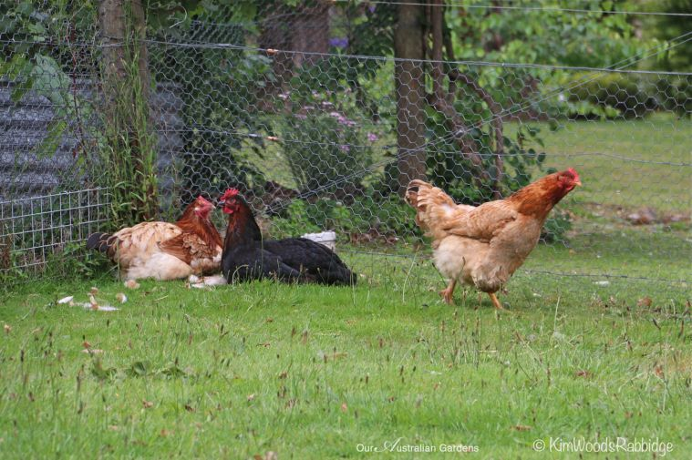 Free range chooks.