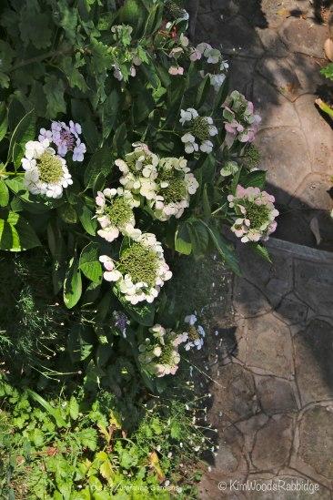 Summer hydrangeas at Nutcote.