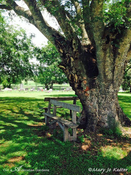 Old Tree - Tamrookum Church