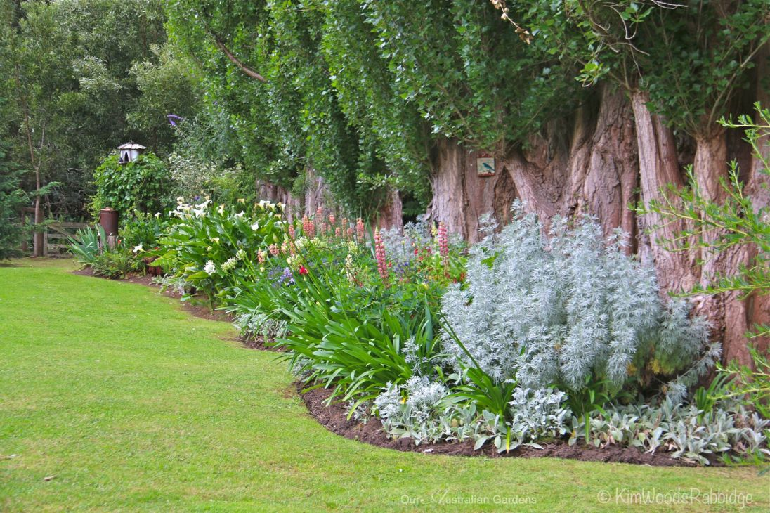 Beds of lupins and arum lilies contrast against silver leaved artemisia and lamb's ears, Stachys byzantina.