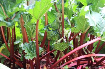 Rhubarb ready for harvest.