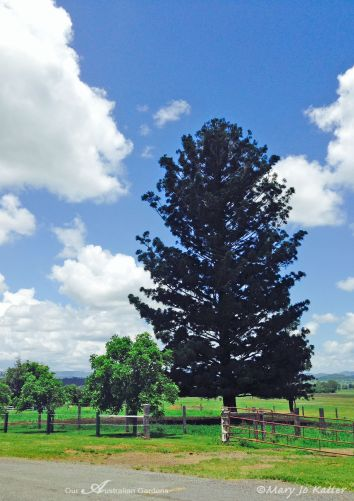 A Bunya pine stands regally against the skyline.