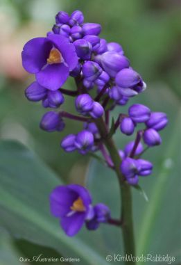 Blue ginger, Dichorisandra Thyrsiflora, thrives here.