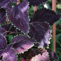 Purple coleus ©Kim Woods Rabbidge