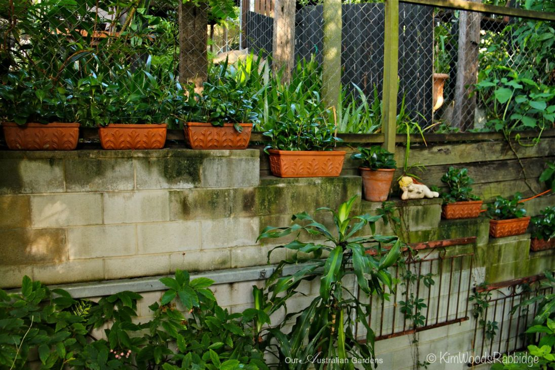 Home grown walled garden with pots of the very hardy, and beautifully glossy, Peperomia obtusifolia.