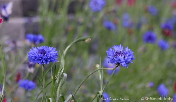 Cornflowers evoke a sense of whimsy.