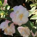 Camellia 1 ©Kim WoodsRabbidge
