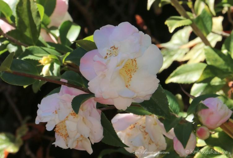 Camellia 1 ©Kim Woods Rabbidge