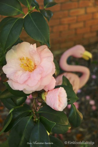 Camellia ©Kim Woods Rabbidge