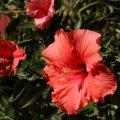 Hibiscus ©Kim WoodsRabbidge