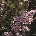 Leptspermum 1©Kim WoodsRabbidge
