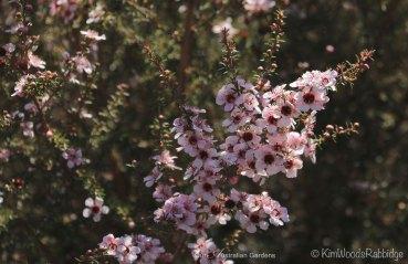 Bees' bounty - leptospermum