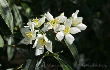 Melastroma Alessandra - a sweet, prolifically flowering shrub