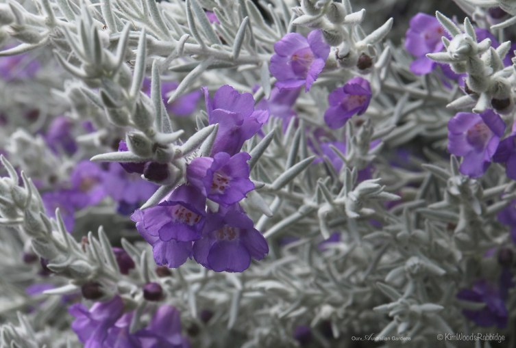 Close up: Eremophila nivea