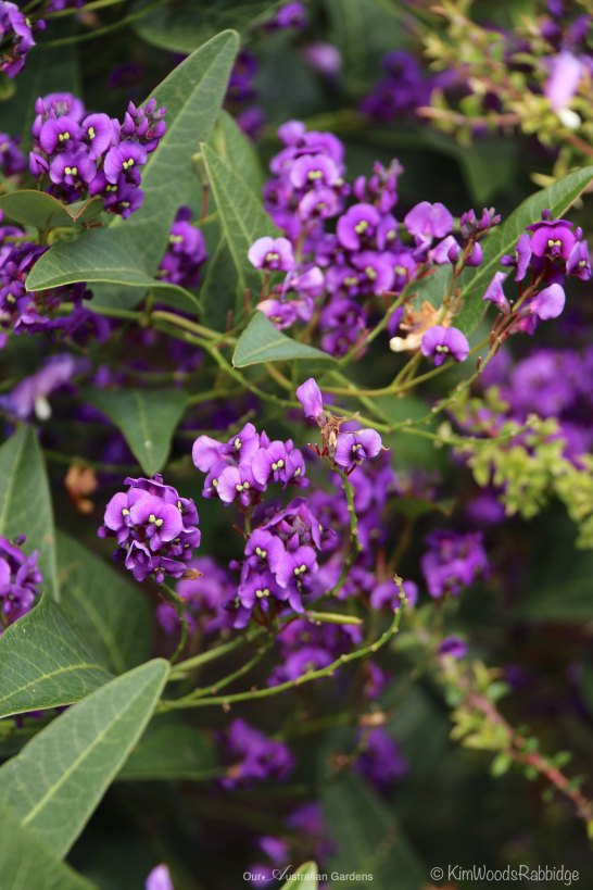Found rambling through bushland, Hardenbergia violacea was commonly known as 'Happy Wanderer'.