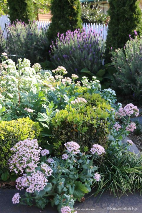 Valerian self-seeds along the path in the front garden.