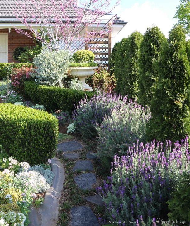 A row of Smaragd conifers grow along the border; silvery 'Satin bush' Podalyria sericea is highlighted, and lavenders are a mecca for bees.