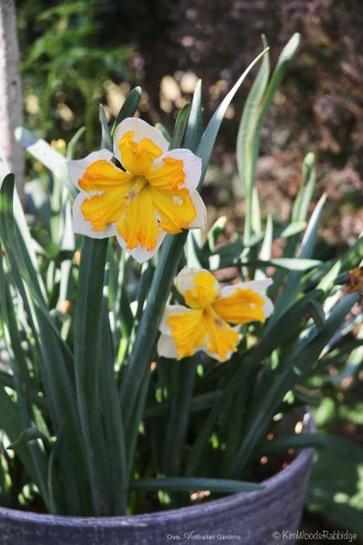 Potted daffodils herald spring.